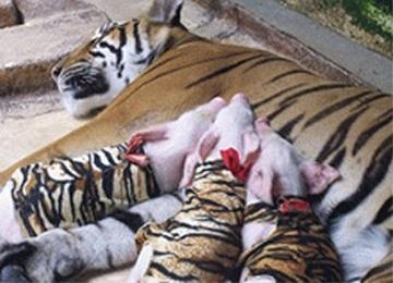 Tiger Zoo